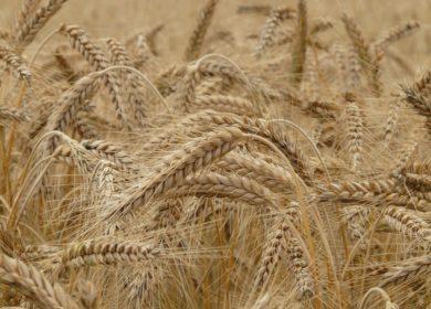 Цены на российскую пшеницу быстро растут вслед за европейскими