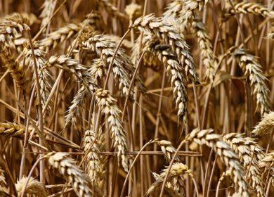 Минсельхоз РФ: О ситуации на рынке зерна с 25 – 29 ноября 2019г