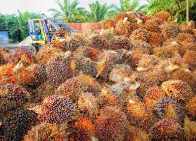 Малайзийские ученые вывели продуктивные семена масличной пальмы, производители намерены решить проблему обезлесения
