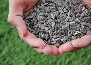 Особый режим экспорта семян подсолнечника из ЕАЭС вступит в силу через 10 дней