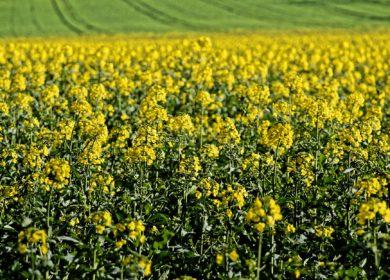 Погодные условия в ЕС способствовали росту урожайности основных сельхозкультур, за исключением пшеницы — MARS