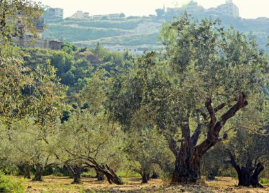 Индустрия производства оливкового масла в Южной Европе оказалось под угрозой