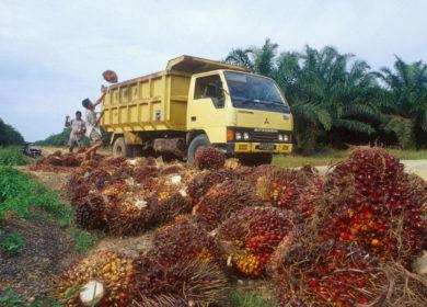 Блокирование пальмового масла и переход на другие растительные масла может привести к негативным экологическим и экономическим последствиям, — ученые