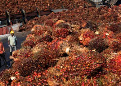 Ограничения по COVID-19 заставили Малайзию сократить объемы производства пальмового масла