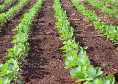 Кабмин обсудит распределение субсидий регионам для роста производства масличных культур