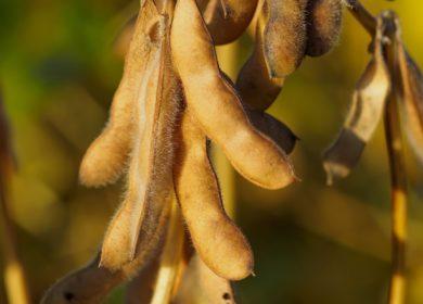 Два урожая сои за один сезон: новые возможности для российских аграриев