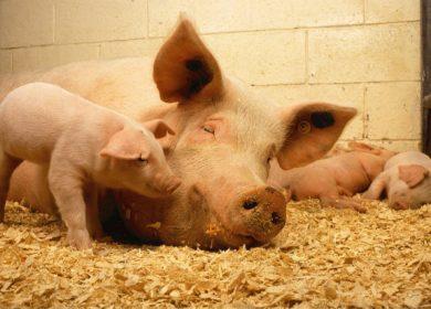 Цены на свинину упали ниже докризисных уровней 2014 года