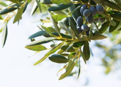 Из Европы на Ближний Восток: производство оливкового масла в ЕС снижается третий сезон подряд