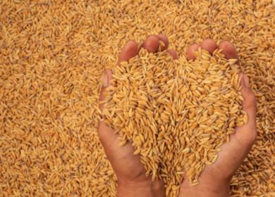Экспорт зерна из Волгоградской области в Иран вырос на 30%