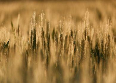 COCERAL продолжает снижать прогноз производства зерновых в ЕС
