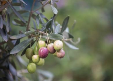 В Перу ожидается неурожайный сезон оливок