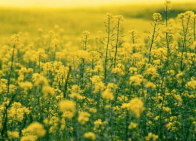 Урожай рапса в Канаде снизится на 5% в новом сезоне