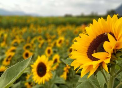 В Волгоградской области под урожай 2020 года увеличили площадь посева масличных