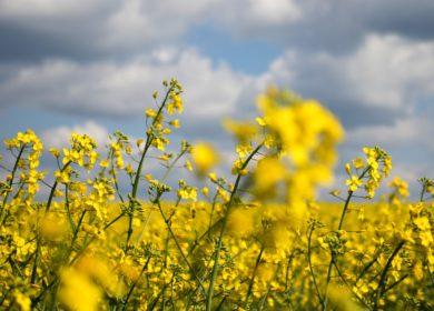 В Красноярском крае порядка 50 производителей масличных получат субсидии на 9 млн рублей