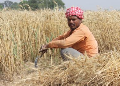 Индия может получить рекордный урожай благодаря благоприятным погодным условиям