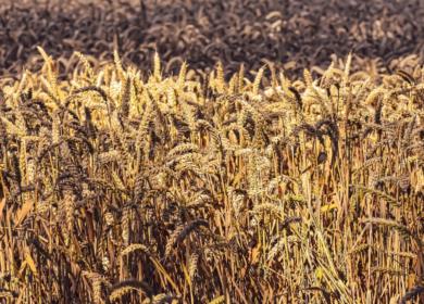 Объем создаваемого в РФ стабилизационного фонда зерна составит 2,5-3,5 млн тонн