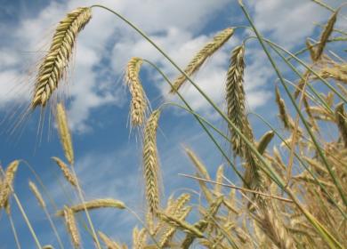 Ставропольские фермеры за 20 лет увеличили производство зерна в пять раз