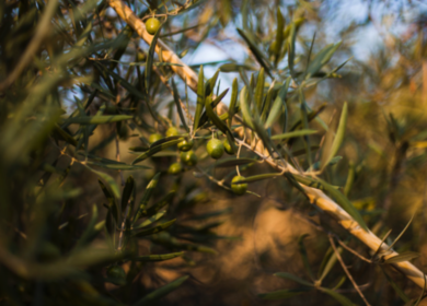 Европейские производители оливкового масла добиваются дополнительных мер по регулированию рынка