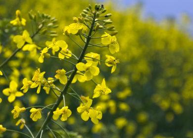 Украинские аграрии собрали более 2 млн тонн рапса в текущем сезоне