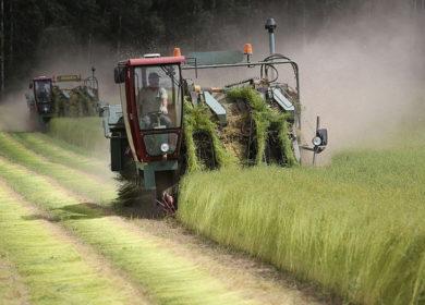 Беларусь завершает теребление льна