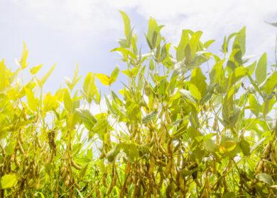 В августе бразильские экспортеры сои рассчитывают на увеличение поставок на 33%