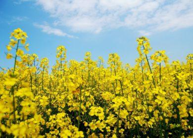 Белорусские аграрии приступили к севу озимого рапса