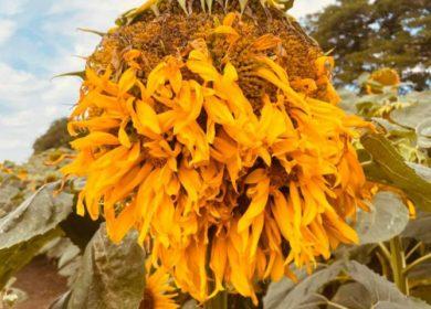 Аграрии зафиксировали распространение филодии в посевах подсолнечника гибридов Syngenta