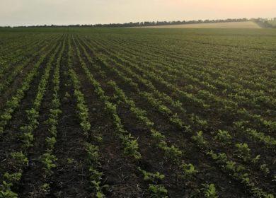 Состояние посевов сои в США продолжает улучшаться