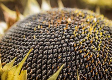 В Казахстане выдали первые разрешения на вывоз семян подсолнечника