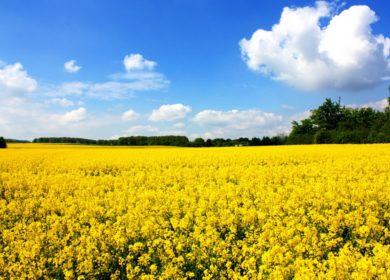 Низкий урожай рапса в Европе сократит мировые запасы этой культуры