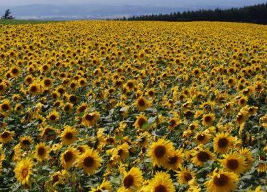 Оренбург занимает вторую строчку в рейтинге по площадям выращиваемого подсолнечника
