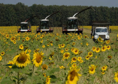Уборка полей подсолнечника на Кубани подходит к концу
