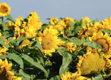 Агрокомплекс Ткачева из-за засухи ожидает незначительного снижения урожая подсолнечника