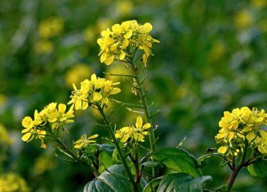 Китай обнаружил ГМО в отечественном рапсе и рапсовом масле
