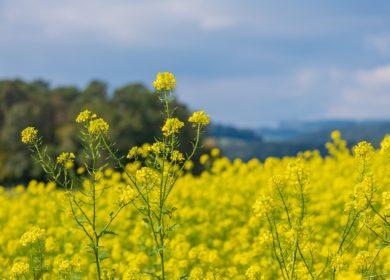 В Беларуси ожидают рекордный урожай рапса за последние 10 лет