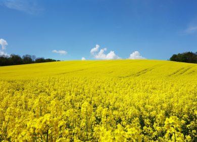 Украинские трейдеры продали почти 830 тыс. тонн рапса нового урожая в августе