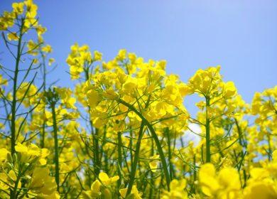 Аграрии Кузбасса получили 56,6 млн рублей субсидий на поддержку производства масличных культур