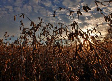 Состояние посевов сои в США не улучшаться в ближайшее время, — эксперты