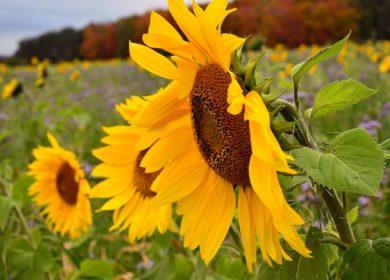 Уборка подсолнечника в хозяйствах Тамбовской области набирает темп
