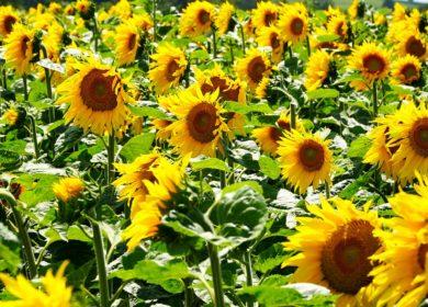 Аграрии Республики Башкортостан начали убирать подсолнечник