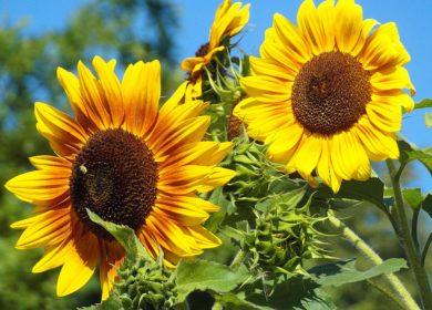 ИКАР снизил прогноз урожая подсолнечника в текущем сезоне