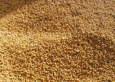 Аргентина может уменьшить производство соевых бобов до 50 млн тонн