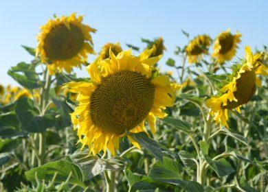 Компания «Кернел» планирует увеличить переработку семян подсолнечника в предстоящем финансовом году
