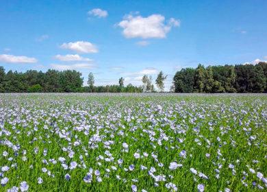 Аграрии Тюменской области четвертый год подряд высаживают лен на территории региона