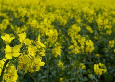 В Забайкальском крае урожайность рапса вдвое превышает прошлогоднюю