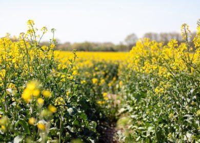 Экспорт рапсового масла из Беларуси в прошлом году достиг 270 тысяч тонн. Отжать от рапса всю выгоду