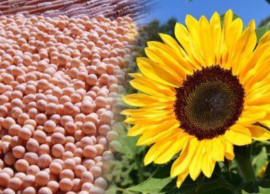 В Тамбовской области проходит успешная работа по испытанию отечественных семян