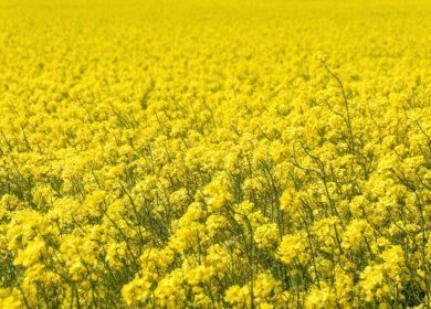 В партиях отечественного рапса, поставленного в ЕС, выявлено превышение пестицидов в 78 раз