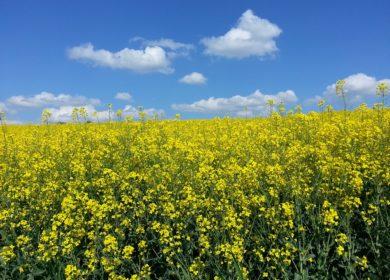 Украинские аграрии соберут в этом году меньше рапса, из-за засухи и сокращения посевных площадей