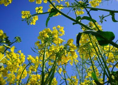 ООО «Хлебная база» прекратит поставки рапса по факту выявления ГМО